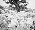 Dead sheep Willow Creek Oregon 1904.jpg