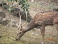 Deers of Rajiv Gandhi Snake Park.JPG
