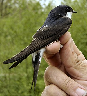 Common house martin - At an official bird ringing station