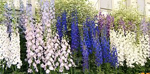 Delphinium - Delphiniums displayed at the Chelsea Flower Show