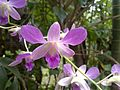Dendrobium purple flower - India.jpg