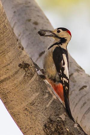 Syrian woodpecker - Image: Dendrocopos syriacus
