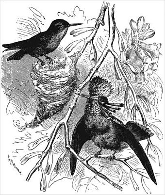 sexual selection wikiwand Anglia Car illustration from the descent of man showing the tufted coquette lophornis ornatus female on left