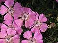 Dianthus alpinus002.jpg