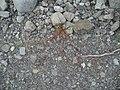 Dianthus armeria L. (AM AK302526-1).jpg