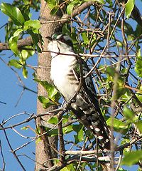 Dideric cuckoo crop