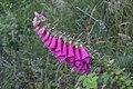 Digitalis purpurea in Aveyron.jpg