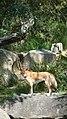Dingo (5871667430).jpg