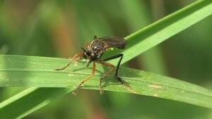 File:Dioctria rufipes (2011-05-15).ogv