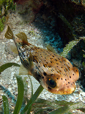 Description de l'image Diodon holocanthus (Ballonfish).jpg.