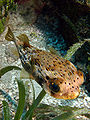 Diodon holocanthus (Ballonfish).jpg