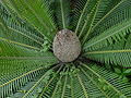 Dioon edule02.jpg