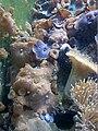 Discosoma carlgreni - Bristol Zoo 4.jpg
