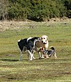 Dogs meet in the Ling - geograph.org.uk - 1770332.jpg