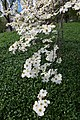 Dogwood Branch (5618696557).jpg