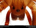 Dorsal view of Loxosceles reclusa (Brown Recluse Spider) (22235181003) (2).jpg