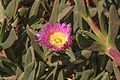 Down the California Coast from San Jose area to Los Angeles on HWY 101 - this could be a Seaside Daisy (Erigeron glaucus) or something similar - (28681064301).jpg