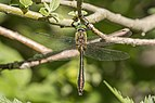 Downy emerald (Cordulia aenea) male.jpg