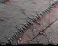 Dragonfly larva skin SEM stereo 100x c.png