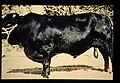 Drakensberger = 世界の牛 ドラーケンスベルガー(雄) (36706366645).jpg