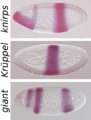 Drosophila gap gene in situ.png