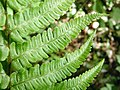 Dryopteris affinis. Felecha (detalle).jpg