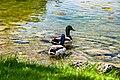 Ducks (39238219385).jpg