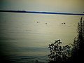 Ducks in Lake Mendota - panoramio (1).jpg