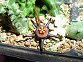 Duvalia flower 01.jpg