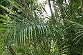 Dypsis lutescens 10zz.jpg