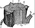 EB1911 Palaeobotany - Heterangium Grievii - stem restoration.jpg