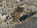 Eastern Meadowlark RWD5.jpg