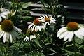 Echinacea purpurea Cygnet White 2zz.jpg