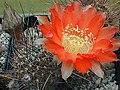 Echinopsis haematantha1a.MW.jpg