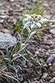 Edelweiss im Schweizer Nationalpark.jpg