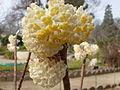 Edgeworthia tomentosa in Jardin des Plantes 04.JPG