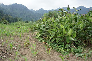 Edible Canna (Canna edulis) in North Vietnam