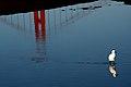 Egretta thula and GGB.jpg