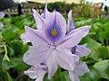 Eichhornia crassipes 9zz.jpg