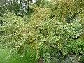Elaeagnus montana 04 by Line1.jpg
