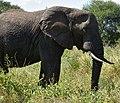 Elephants, Tarangire National Park (33) (28620576361).jpg