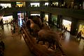 Elephants at the American Museum of Natural History.jpg