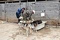 Eleveurs de huskies dans l'Oblast de Kostroma (3).jpg