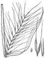 Elymus hystrix var hystrix (as Hystrix hystrix) BB-1913.png
