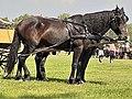 Em - Equus caballus - 46.jpg