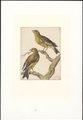 Emberiza chloris - 1753-1834 - Print - Iconographia Zoologica - Special Collections University of Amsterdam - UBA01 IZA1000262.tif
