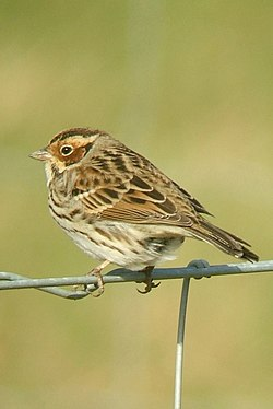Emberiza pusilla Harrington Burn 5 (cropped).jpg