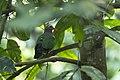 Emerald Dove - Carita - West Java MG 3351 (29726934271).jpg