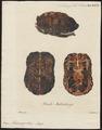 Emys muhlenbergii - schild - 1700-1880 - Print - Iconographia Zoologica - Special Collections University of Amsterdam - UBA01 IZ11600125.tif