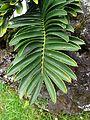 Encephalartos pterogonus furnas 2015 (01).jpg